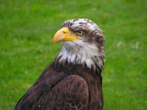 bald-eagle-563535_640